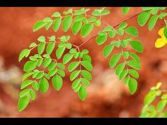 Moringa Tree Benefits   Buy Moringa Oleifera Products