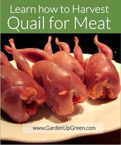 How to Harvest Quail for Meat Processing