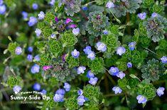 オオイヌノフグリ春の訪れを知らせる小さな青い花素朴でほっとする青ですねまずは撮っ...