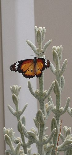 Butterfly by Andrew Laurens, via Flickr