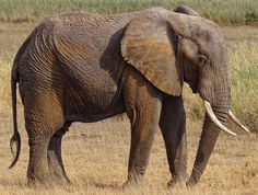 African Savanna or Bush elephant, Loxodonta africana, is the Larger of the two African Elephant species. Short and wide mandible. Ears are more pointed. African Forest Elephant, Asian Elephant, Angry Animals, Zoo Animals, Elephant Species, Zany Zoo, Ivory Trade, Timon And Pumbaa, Habitat Destruction