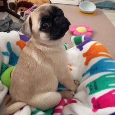 I would hug it to death!   #pugdaily #pugs #pug #cute #puglover