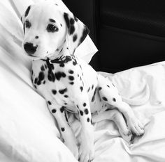 Omg, cutest little dalmation puppy.