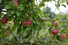 Heirloom Apple tree Resources