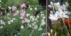 Guara Whirling Butterflies, Perennial Plants, McDonald Garden Center