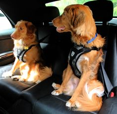 Safe Tollers: Ready for their car ride. (Nova Scotia Duck Tollers)