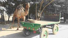 camel cart...