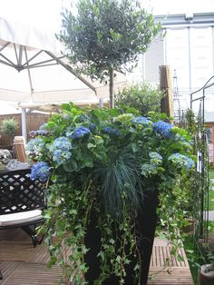 Ivy Hydrangea and topiary container Ivy Hydrangea and topiary container Container Flowers, Container Plants, Container Gardening, Garden Urns, Garden Planters, Potted Garden, Outdoor Planters, Outdoor Gardens, Chelsea Flower Show