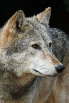 "Timber Wolf "" Hope for the future, inspiration to share in my pack,courage, and strength to go on is my prayer for today."""