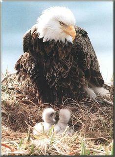 Bald eagle and babies Pretty Birds, Beautiful Birds, Animals Beautiful, Animals And Pets, Baby Animals, Cute Animals, Eagle Pictures, Animal Pictures, Tier Fotos