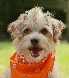 Baxter-loves to play is an adoptable Cocker Spaniel Dog in Glastonbury, CT. Please contact Lee ( leeselman@comcast.net ) for more information about this pet. We are not sure of the breed mix and can n...