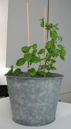 Be sure to put your mint plant in a pot that is large enough! (click for a bigger picture)