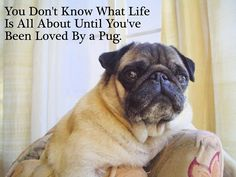 Actually true...didn't know it till I had a pug sort of dropped on my lap. My pug is cuter though.