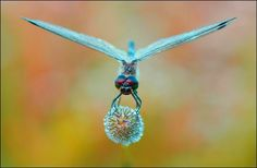 ...Dragonfly ball