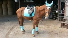 My very own boy Chester wearing the eskadron ice plain cotton dressage pad