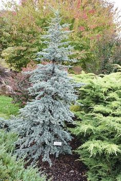 Evergreen trees and shrubs really stand out in winter, largely because that's all that still has foliage. One of my favorites is the Blue Atlas Weeping Evergreen Trees, Evergreen Trees Landscaping, Evergreen Landscape, Evergreen Garden, Dwarf Trees, Farmhouse Landscaping, Outdoor Landscaping, Front Yard Landscaping, Landscaping Ideas