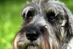 Schnauzer- awe......... Pepper used to have this same look!