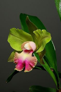 Inter-Generic Orchid-Hybrid Blc: BrassoLaelioCattleya Crowfield 'Mendenhall' ~ Photo by Charles Boco on Flickr