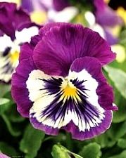 edible purple pansy flower