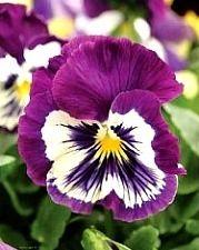 edible purple pansy flower