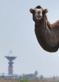 13-7-2012 13:20:3  A camel stands in front of the space communication antennas at the Russian leased Kazakh Baikonur cosmodrome, on July 13, 2012. AFP PHOTO / VYACHESLAV OSELEDKO