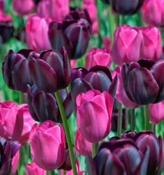 ❀✿Beautiful color combo with the light and dark tulips.✿❀ #Flowers #Tulips