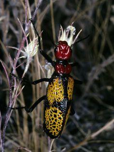Colorful Iron Cross Blister Beetle (Tegrodera Aloga) on Grass, Sonoran Desert, Arizona, Usa Photographic Print