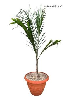 Queen Palm Tree - If you would like more information about the beautiful Queen Palm, also known botanically as Syagrus Romanzoffiana, give RealPalmTrees a call at 877-RPT-AGRO (778-2476) and take a virtual tour of the nursery at www.realpalmtrees.... Great for birthdays, anniversaries, offices, apartments, interior and exterior landscaping and so much more! Palm Tree Fruit, Palm Tree Flowers, Small Palm Trees, Small Palms, Queen Palm Tree, Cold Hardy Palm Trees, Bismarck Palm