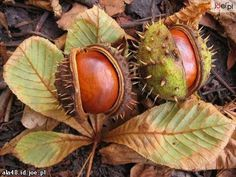 chestnuts - (Kasztany)......chestnut (kasztan)