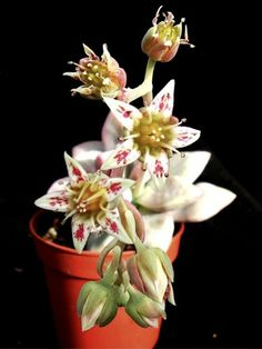 Graptopetalum 'Victor Kane' is a cute hybrid succulent that can be mistaken for the similar Graptopetalum 'Purple Haze'. Blooming Succulents, Flowering Succulents, Cacti And Succulents, Planting Succulents, Outdoor Flower Planters, Outdoor Flowers, Cactus, Growing Greens, Dendrobium Orchids