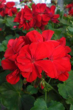 Dark Red Geranium | Tried & True Geranium Calliope Dark Red