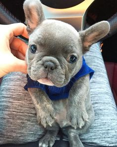 'Love at first sight', French Bulldog Puppy