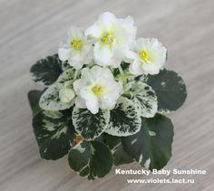 Kentucky Baby Sunshine - Миниатюрные фиалки - Сенполии, Стрептокарпусы