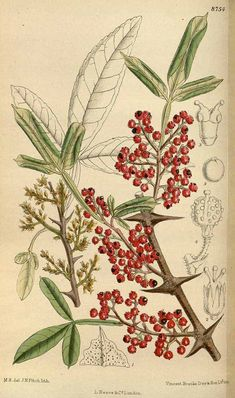 Ideas evergreen tree illustration botanical prints for 2019 Plant Illustration, Botanical Illustration, Botanical Drawings, Botanical Prints, Pepper Tree, Sichuan Pepper, Cool Tree Houses, Tree House Designs, Parts Of A Plant