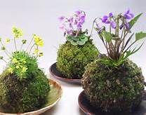 Japanese Moss Ball Bonsai - Bing Images