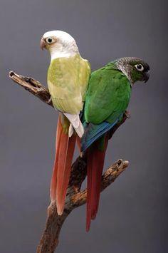 Green cheek conure mutations