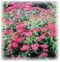 Euonymus japonicus 39 microphyllus variegatus 39 slow for Cool low maintenance plants