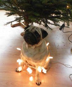 pug-christmas-lights