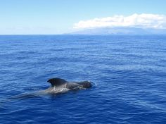 Canary Islands: Tenerife - whale and dolphin watching, this is the short-finned pilot whale. (the Island on the horizon is La Gomera).