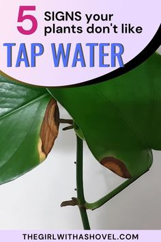 If your plant is showing any of these 5 sypmtoms, then it might just be time for you to switch out your water source. Check out these symptoms to make sure your plants are the healthiest they can be! How to Water Houseplants | How to Water Indoor Plants | House Plants | Indoor Plants | Plants Indoor, Air Plants, Apartment Plants, Water Sources, Plant Needs, Low Lights, Plant Care, Houseplants, Diy Design