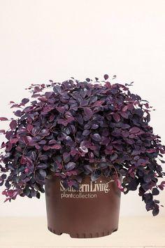 Southern Living®  Purple Pixie®, Loropetalum, Dwarf Size, Weeping Habit