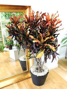Entre tanta flor aquí tenemos desde ayer este espectacular Croton (Codiaeum pictum)