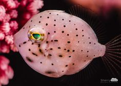 Sherry Hsu Ocean Fantasy - Filefish - Filefish's body looks like a brooch with many pearls!!