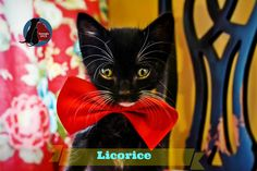 Adorable Southern Gentleman Available for Adoption! Meet Licorice!