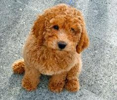 Red labradoodle, sooo cute