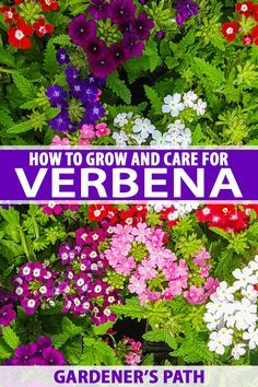 Long-lasting and mid-height color is always a gem, and verbena promises to perform all season long. Read on to learn all about growing this colorful annual. Diy Garden, Lawn And Garden, Garden Plants, Garden Ideas, Growing Flowers, Planting Flowers, Lobelia Flowers, Flower Gardening, Flowers Garden