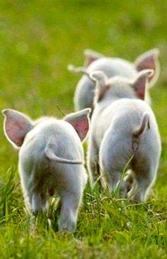 FARMHOUSE – ANIMALS – springtime is a time for renewal and rebirth on the farm, baby pigs are actually some of the most beautiful creatures on a farm. Cute Creatures, Beautiful Creatures, Animals Beautiful, Cute Baby Animals, Animals And Pets, Funny Animals, Cute Pigs, Funny Pigs, Fun Funny