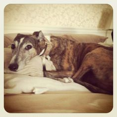 I love the idea of rescuing a Greyhound from racing.