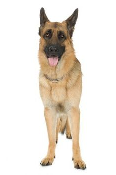 Pythiosis In Dogs