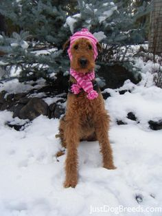 ORIGINAL PINNER SAYS: This Is Madeline she is very smart and knows it , She also loves to pose for pictures. The beautiful Airedale Terrier